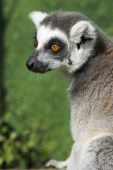 A Madagascan ring tailed lemur shot on location. poster