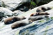 Fur seals (Arctocephalus forsteri) colony in Milford Sound, Fiordland National Park. Southland - New Zealand  poster