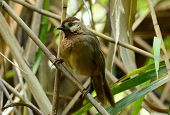 beautiful White-browed Laughingthrush (Pterorhinus sannio) in Thai forest poster