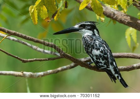 A Lovely Perch For A Pied Kingfisher (ceryle Rudis)