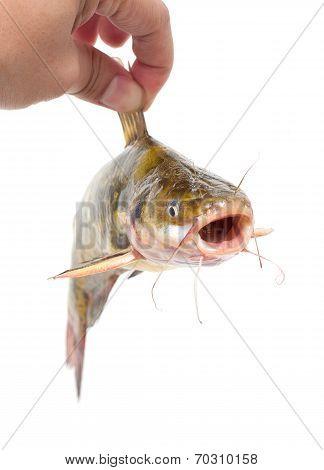 Holding Catfish isolated on white