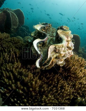 Tridacna gigas giant sea clam underwater in thailand poster