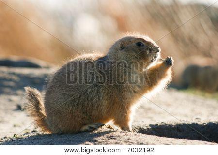 Prairie Dog Watchful