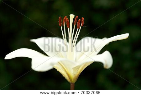 side view of white bloom Lilium candidum (Madonna Lily) close up poster