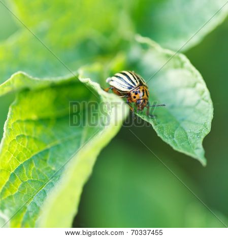 Potato Bug Eating Potatoes Leaves
