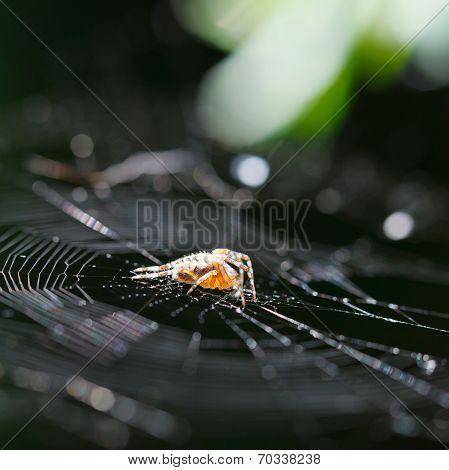 European Garden Spider On Cobweb Close Up