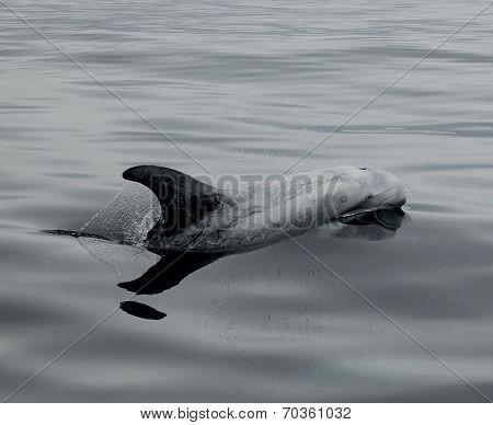 A Rizzos Dolphin