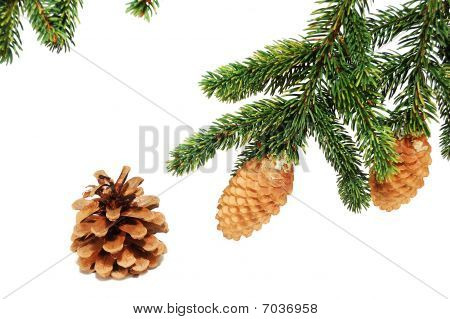 The Branches Of Spruce With Fir Cones