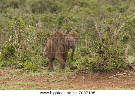 Baby Elephant running through the bush, Addo Elephant Reserve, South Africa