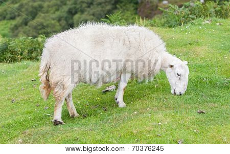 White Woolly Sheep