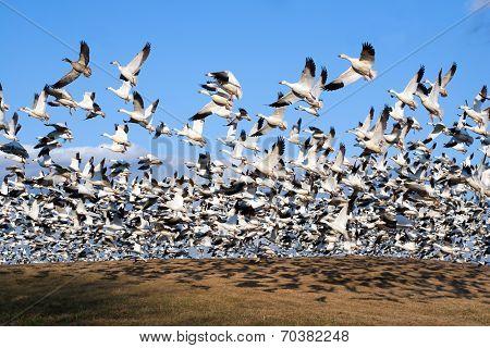 Snow Geese Take Flight