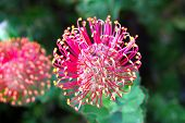 Flowerhead of a Hakea - Australian Native Flower from the Proteaceae family. poster
