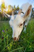 Goat chews a fresh green grass  poster