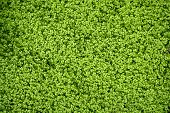 Angel tears grass plant Soleirolia Soleirolii Urticaceae poster