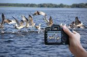 Digital camera  is in the hand of man. Gulls on water. poster