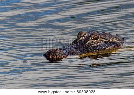 A Wild Alligator (Alligator mississippiensis) Lurking