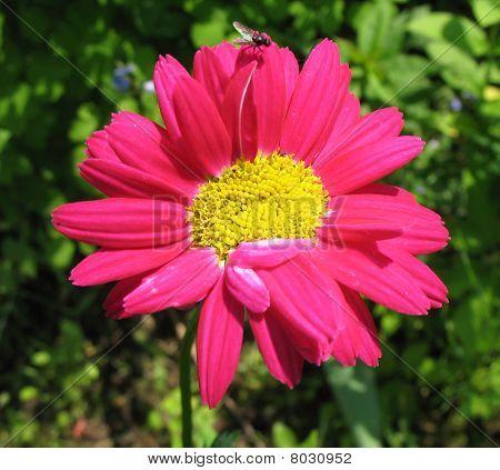 Pyrethrum Flower pink in the garden (Pyrethrum roseum).