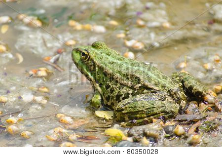 Fat warted toad on the bank of the river