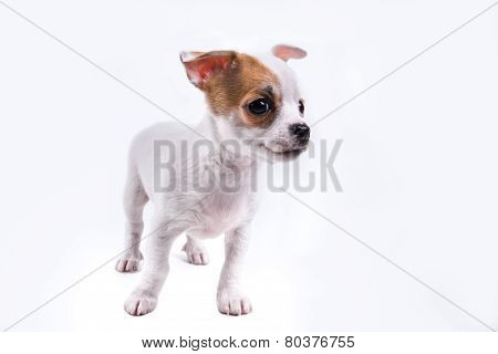 Cute Chihuahua Puppy Looking To The Right
