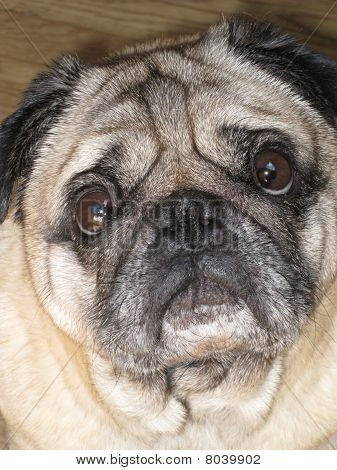close-up pug dog face