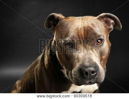 American Staffordshire Terrier, close-up, on dark background