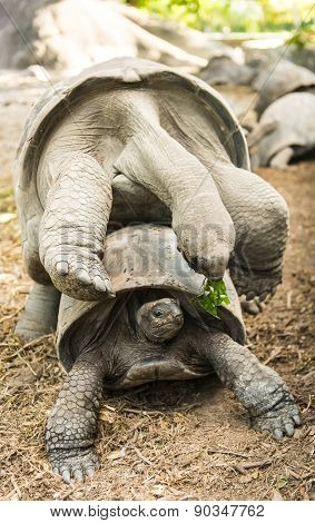 Two wild Aldabra giant tortoises of the Seychelles (Aldabrachelys gigantea or Geochelone gigantea) mating. La Digue, Seychelles