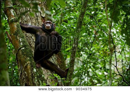 Chimpanzee On A Tree.