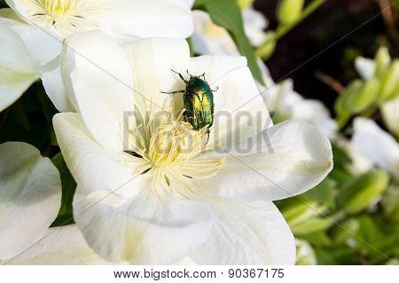 Rose chafer (cetonia aurata)