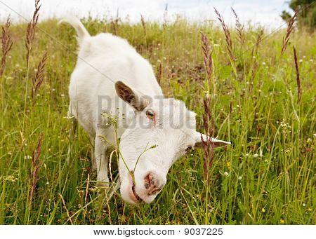 Nanny Goat Eating Grass.