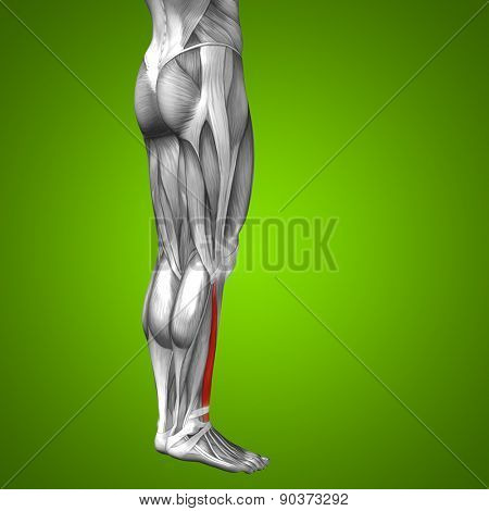 Concept or conceptual 3D extensor digitorum longus human lower leg anatomy or anatomical and muscle over green gradient background