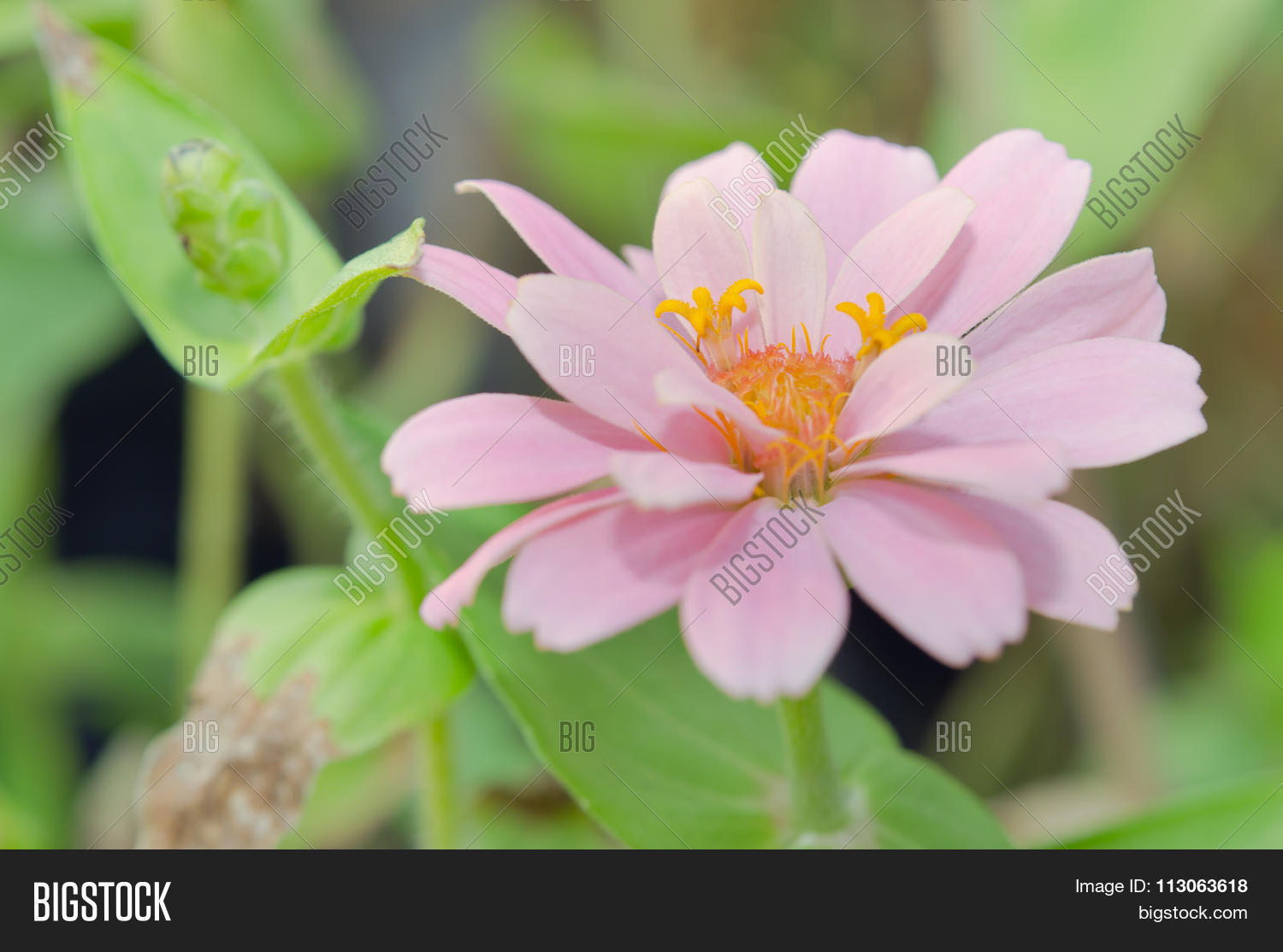 Pink aster flower rama image photo free trial bigstock pink aster flower in rama 9 local name national garden bangkok thailand mightylinksfo