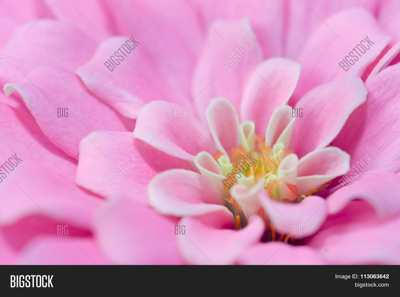 Pink Aster Flower Rama Image Photo Free Trial Bigstock