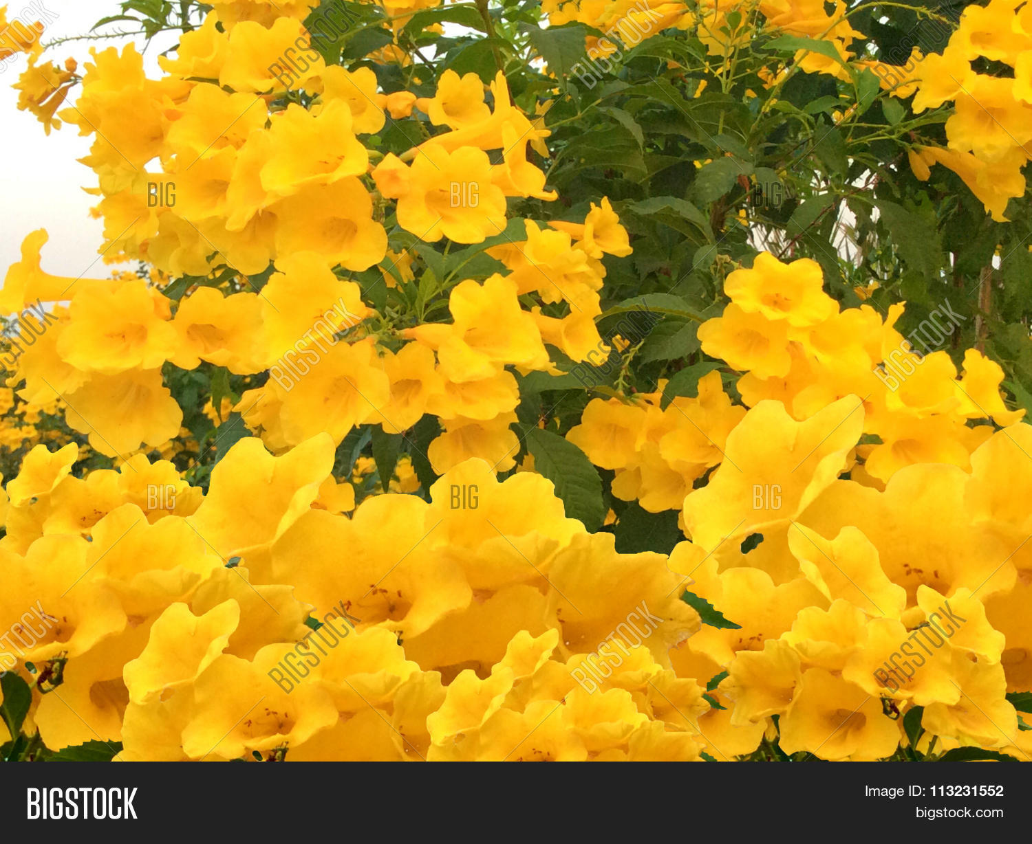 Bush Yellow Elder Image Photo Free Trial Bigstock