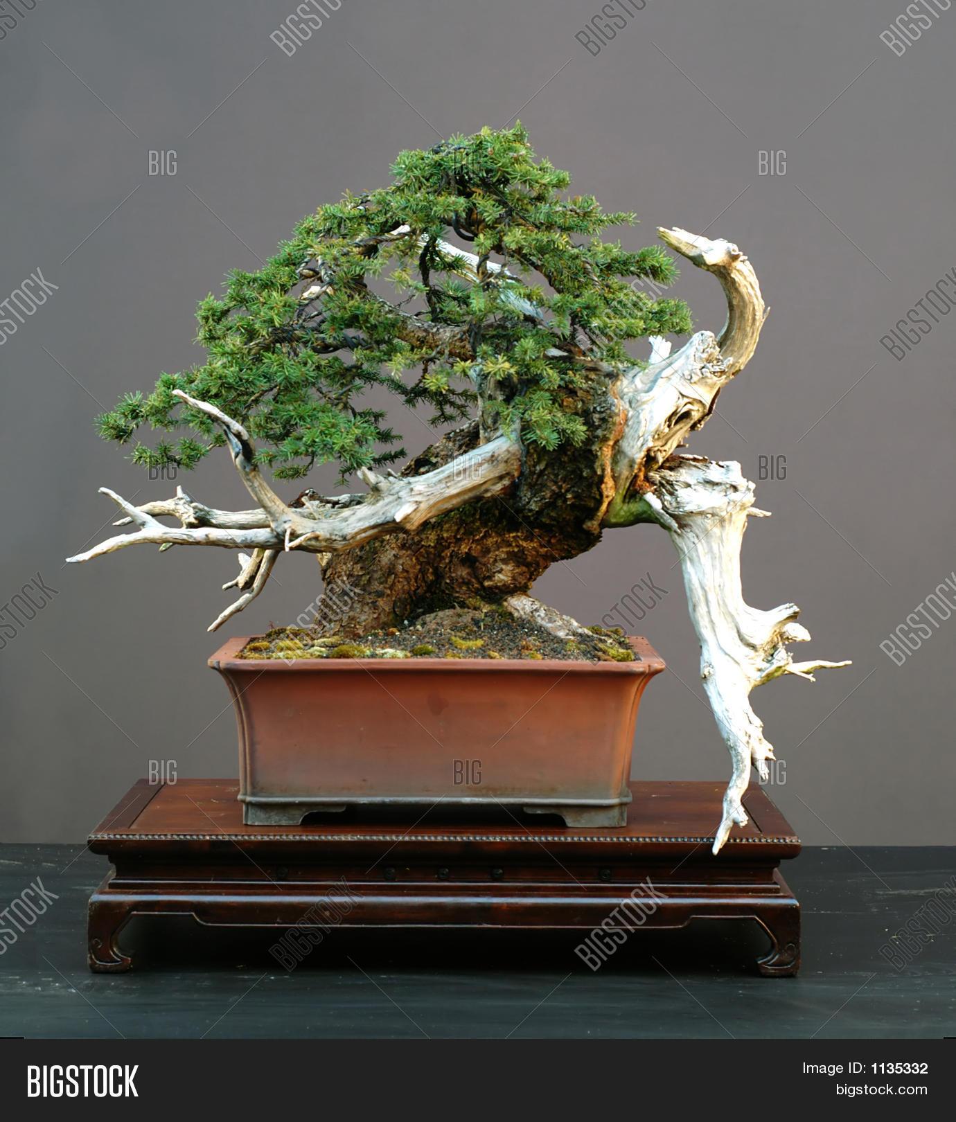 Spruce Bonsai Image Photo Free Trial Bigstock