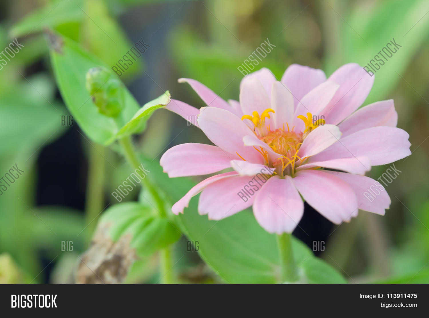 Pink Aster Flower Rama 9 Local Image Photo Bigstock