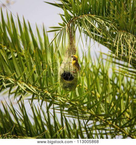 Baya Weaver Male at nesting colony.