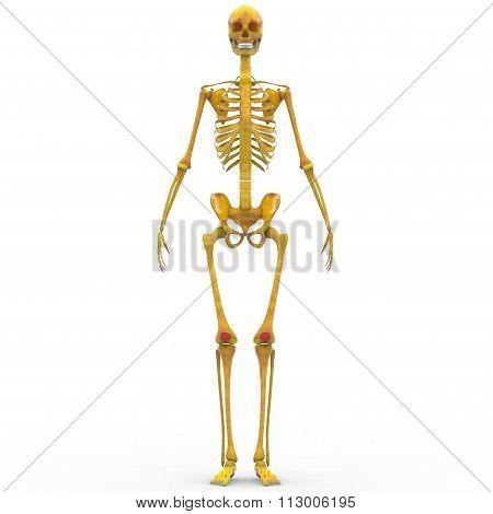 Human Skeleton Patella bones