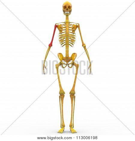 Human Skeleton Humerus Bone