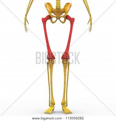 Human Skeleton Femur bones