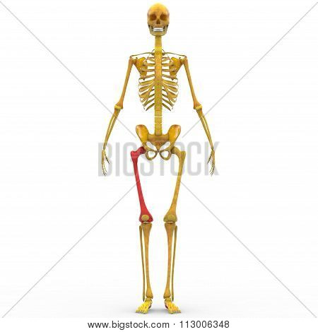 Human Skeleton Femur Bone