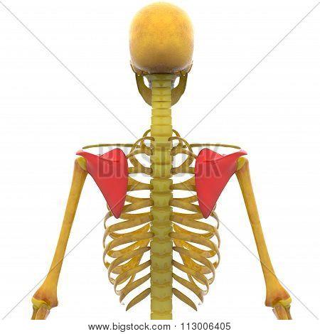 Human Skeleton Scapula Bones