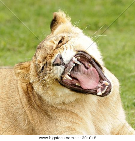 Lion Growling