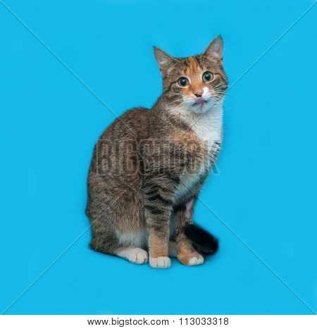 Tricolor Striped Cat Sitting On Blue
