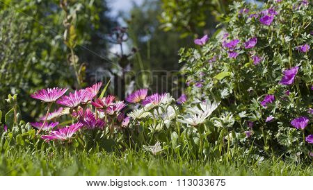 Close up on Dorotea-flowers in a garden.