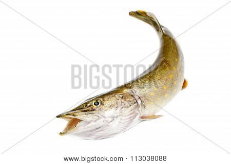 Fish Pike Isolated On White Background