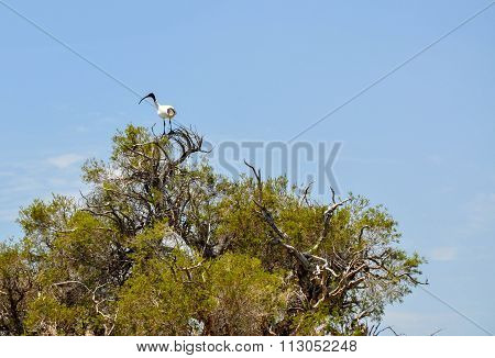 Australian White Ibis: Tree Top Lookout