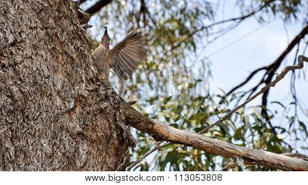 Red Wattlebird Catching Insect