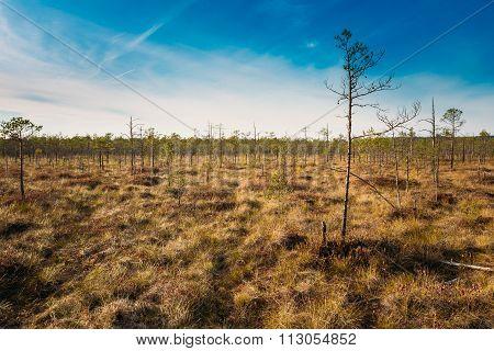 Bog grassy. Dwarf trees growing near marsh bog. Autumn season