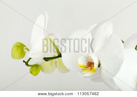 Romantic Branch Of White Orchid