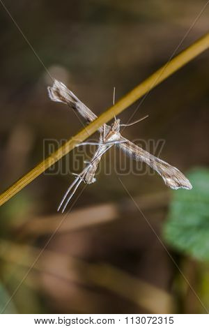 White plume moth (cnaemidophorus Rhododactyla)